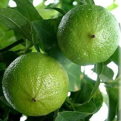 佛手柑(Bergamot Citrus bergamia)