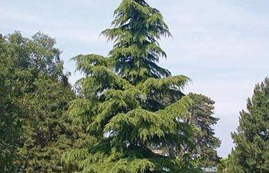 喜馬拉雅山雪松(Himalaya Cedar)