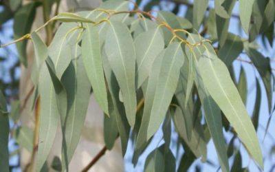 澳洲尤加利樹(Eucalyptus)