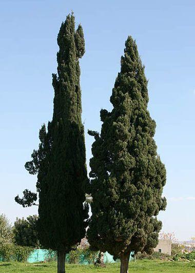 絲柏(Cypress)