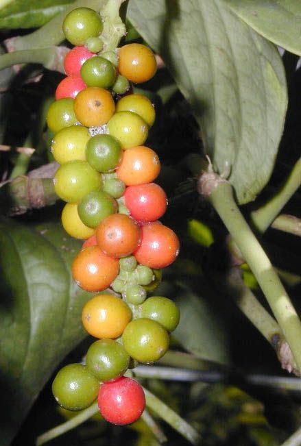 黑胡椒(Black Pepper)